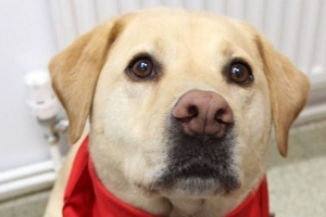 Stumpy the Labrador tops the canine charts for dog blood donors and has saved more than 100 lives