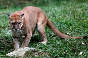 Poland: the police hunt an ex-soldier fled in the forest with his puma