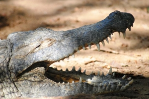 2,200-lbs Croc Once Ate 3 Schoolgirls, Now Changed By 'Marriage'